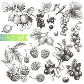 Great hand drawn illustrations of berries isolated on white background