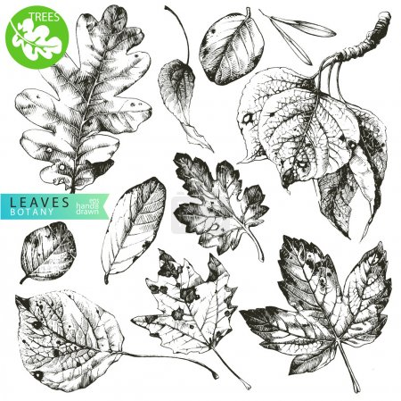 Illustration for Highly detailed hand drawn leaves isolated on white background - Royalty Free Image