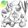 Collection of hand drawn illustrations with garlic...
