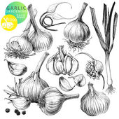 Collection of hand drawn illustrations with garlic's isolated on white background