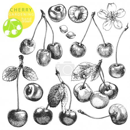 Illustration for Hand drawn illustrations of cherries isolated on white background - Royalty Free Image