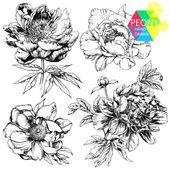 Engraved hand drawn illustrations of ornate peonies Flower buds leaves and stems can be easily separated and removed