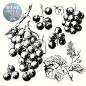 Hand drawn illustrations of wine grapes