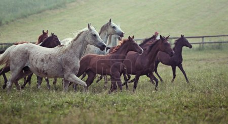 Picture of bevy wild horses on the meadow