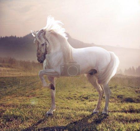 Picture of majestic white horse