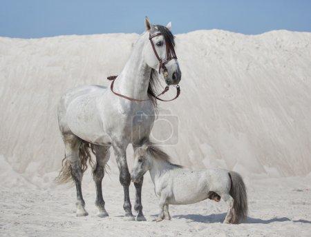 Two white horses on the desert