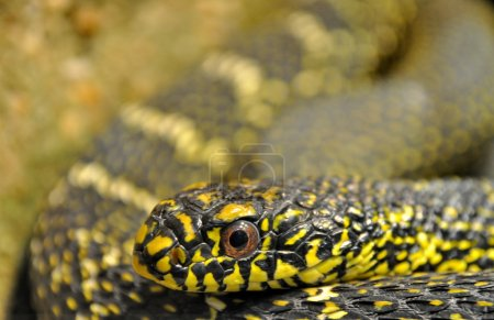Head of a snake with yellow eyes