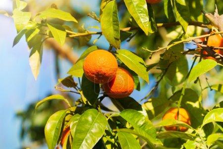 Photo pour Mandarines mûres orange sur l'arbre - image libre de droit