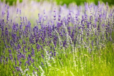 Photo for Detailed purple lavender flowers in the green field in summer - Royalty Free Image