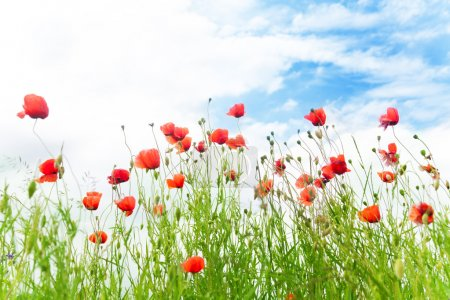 Red poppy flowers in the spring field and blue sky and fields on background