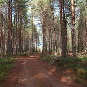 Road in the pine forest.