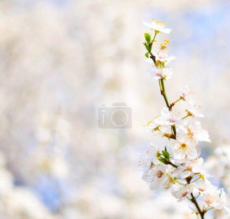 Foto de Bracnh hermosa ciruela con flores contra borroneado backgroiund - Imagen libre de derechos