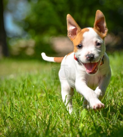 Photo for Cute Stafford puppy running on field - Royalty Free Image