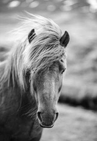 Photo pour Portrait de cheval islandais en noir et blanc - image libre de droit