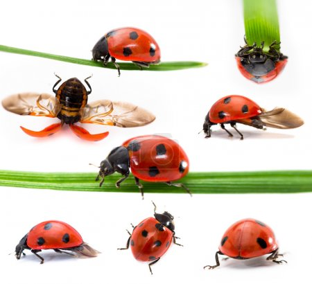 Collection of Seven-spot ladybirds