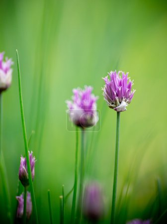 Chive herb flowers