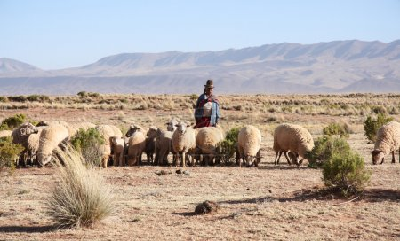Photo pour Berger et troupeau de moutons en Altiplano bolivien, Andes, Amérique du Sud - image libre de droit