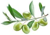 Větev olivovníku se zelenými olivami na něm