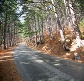 Road in the pine forest at the sunny day.