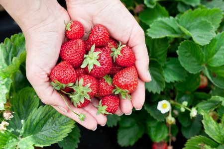 Photo for Strawberry fruits in a woman's hands. Green leaves on the background. - Royalty Free Image