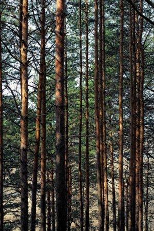 Photo pour Forêt de pins. - image libre de droit