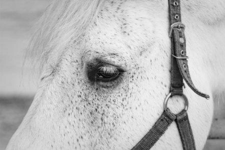 Photo pour Oeil de cheval blanc gros plan . - image libre de droit
