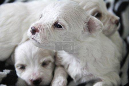 Cute little maltese puppy
