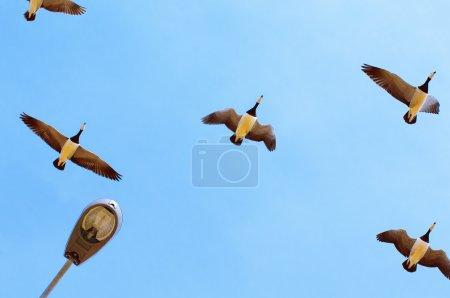 Photo pour Oiseaux migrateurs volent dans le ciel - image libre de droit