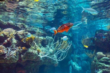 Photo pour Panorama sous-marin dans un récif corallien peu profond avec des poissons tropicaux colorés et la surface de l'eau en arrière-plan - image libre de droit