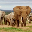 An elephant herd, led by a Magnificent 'Tusker' bu...