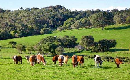 Ferme bovine australienne