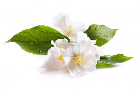 Photo pour Fleur de jasmin blanc isolé sur fond blanc - image libre de droit