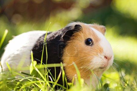 Photo pour Cochon d'Inde (cavia porcellus) est un animal de compagnie populaire. - image libre de droit