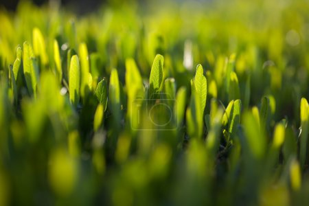 Photo for Green leaves of hedgerow in the garden - Royalty Free Image