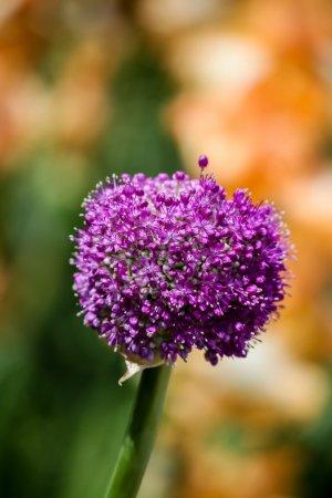 Photo pour Oignon géant en fleurs (Allium giganteum) ) - image libre de droit