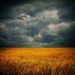 Dark stormy clouds over wheat field. Square panora...