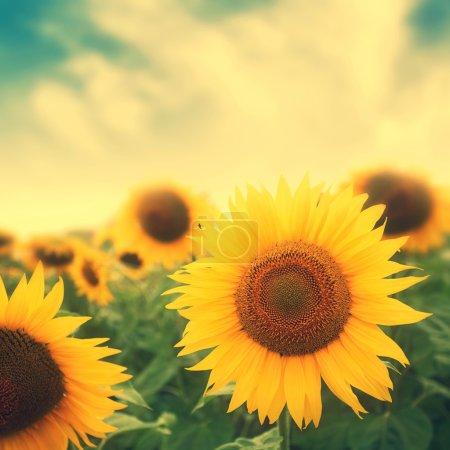 sun flowers in field