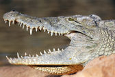Velká hlava krokodýla