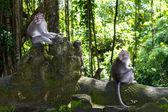 Two monkeys in Bali Ubud forest