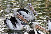 Pelikán australský koupání v rybníku