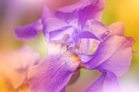 Defocus purple iris flower
