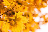 Defocus autumnal maple leaves