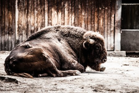 European bison seating in zoo