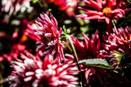 Dahlia flower design perfect background