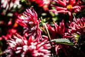 Dahlia květiny design perfektní pozadí