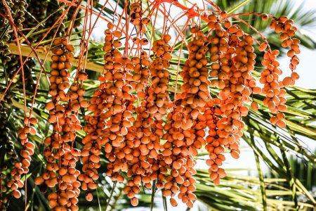 Photo for Tropical Palm Fruit. HDR image - Royalty Free Image