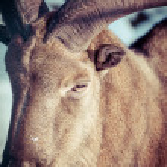 Mouflon portrait...