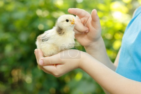 chiken in child's hand care nature outdoor