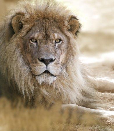 Photo pour Portrait de lion - image libre de droit