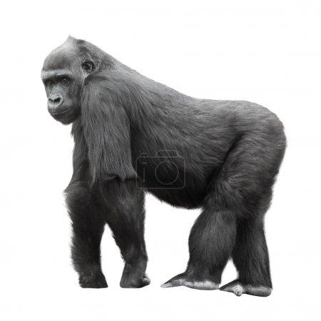 Photo pour Commandes de gorille dos argenté sur un affût isolé sur fond blanc - image libre de droit